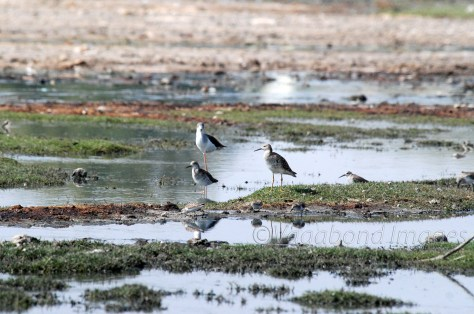 marsh sandpipers