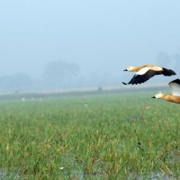 Poetry in motion: Birds in flight at Mangalajodi