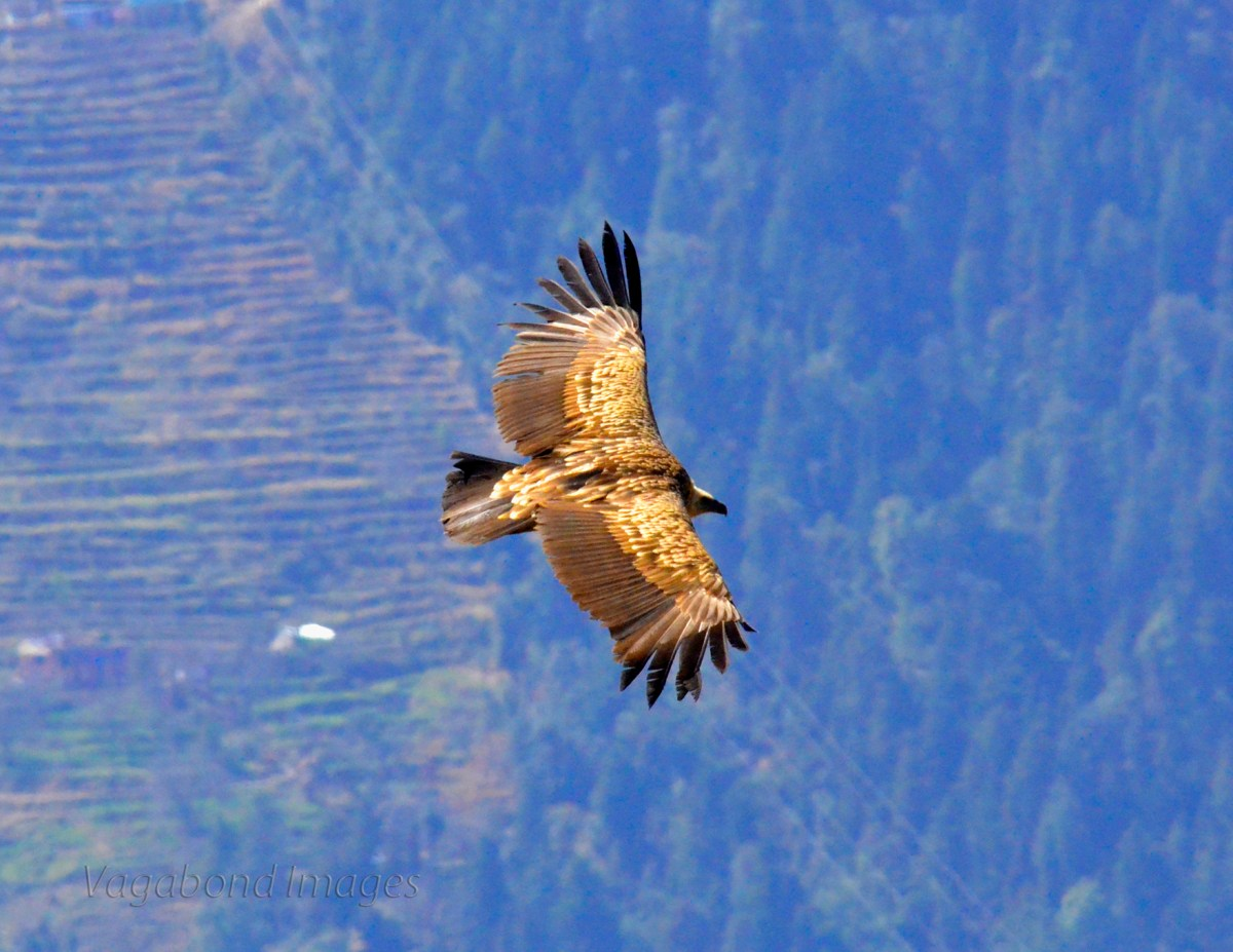 Wings of  Gold - Himalayan Golden Eagle in flight!
