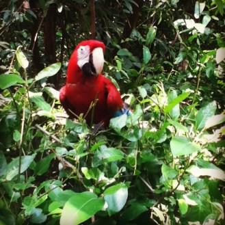 Un papagayo rojo vestido de camuflaje