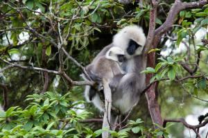 Monos (Langur blanco) en Bután