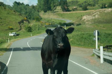 Vaca neozelandesa en mitad de la carretera...