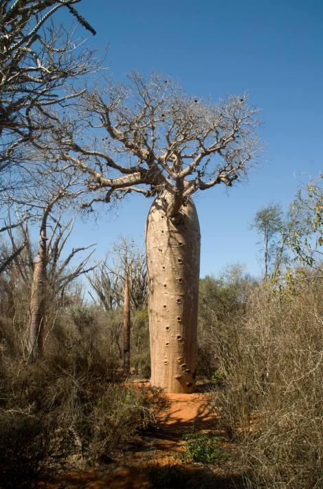 Baobab en la Reserva de Reniala, al Sur de Madagascar