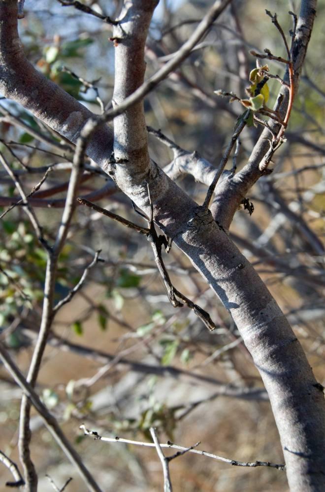 Difícil distinguir esta mantis religiosa en el Parque Nacional de Isalo