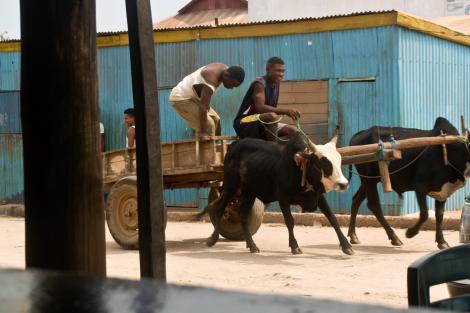El zebú, además de animal de carga, es un exquisito plato de la gastronomía malgache