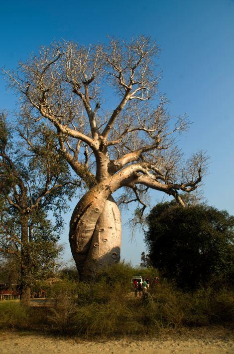 Los baobabs enamorados