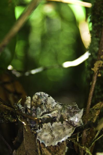 Gecko perfectamente camuflado con la rama y hojas de un árbol, en Madagascar