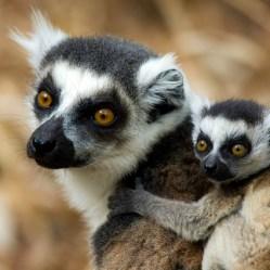 Lemures de cola anillada en Madagascar