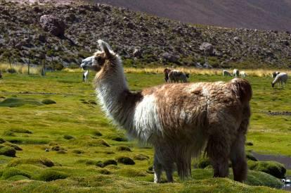 La llama es al altiplano andino lo que las vacas al Norte de España: las crían en rebaños y su lana es muy apreciada. Son la versión doméstica de las vicuñas (tras siglos de evolución, claro)