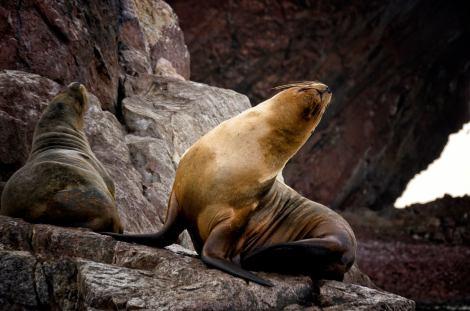 """En la época de cría, cientos de leones marinos se juntan en una playa de las islas Ballestas a la que llaman """"La Maternidad"""""""