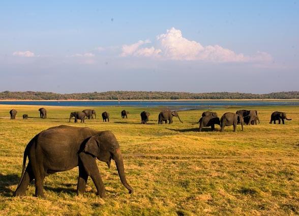 En Mineriya los meses de agosto y septiembre pueden verse decenas de elefantes que se reúnen al atardecer, ¡vaya espectáculo!