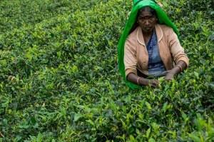Recolectora en los campos de té que se extienden por kilómetros en las tierras altas de Sri Lanka