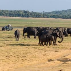 Concentración de decenas de elefantes al atardecer en el parque Minneriya, Sri Lanka