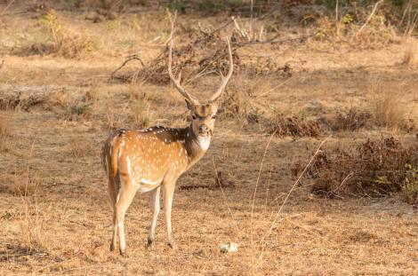 ¡Un Bambi! Ciervo moteado en el parque Wilpattu