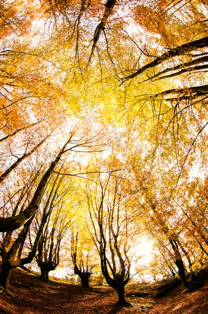 La particularidad de este hayedo es que sus hayas extienden las ramas verticalmente hacia el cielo