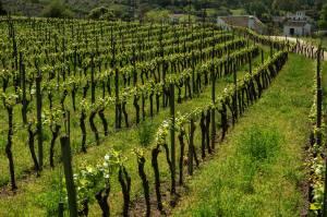 En Málaga existen dos denomaciones de origen de vino: Málaga y Sierra de Málaga. A ésta pertenece la subdenominación de Serranía de Ronda