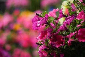 Detalle de unas flores en uno de los patios del concurso de Córdoba