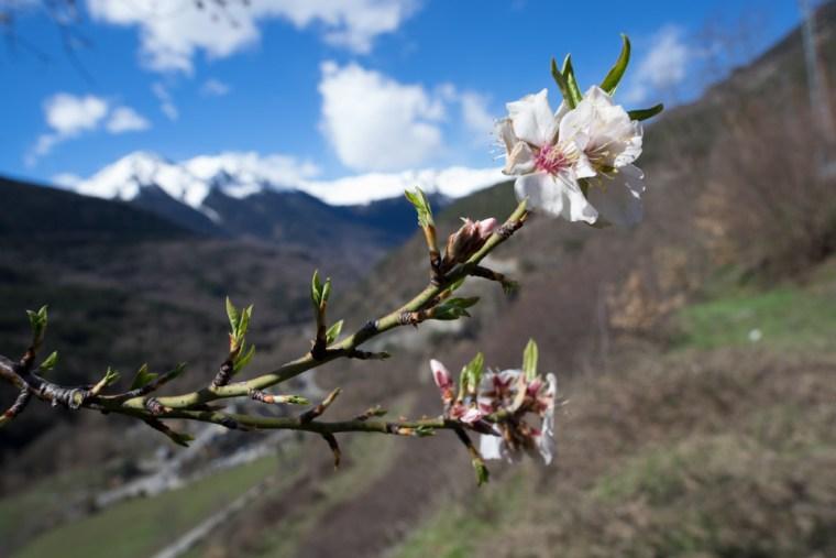 Inicio de la primavera con las primeras flores en el Valle de Arán, mientras continúa la nieve en los Pirineos