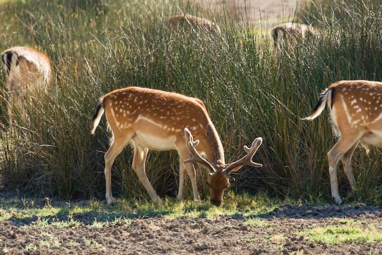 En Doñana es posible ver muchos animales en libertad, como gamos