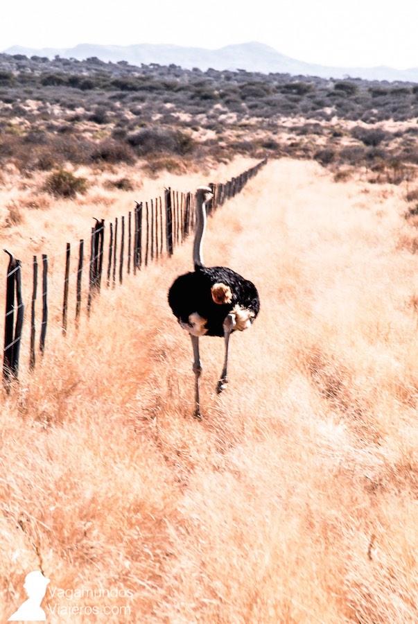 Avestruz a la fuga durante un safari en Namibia