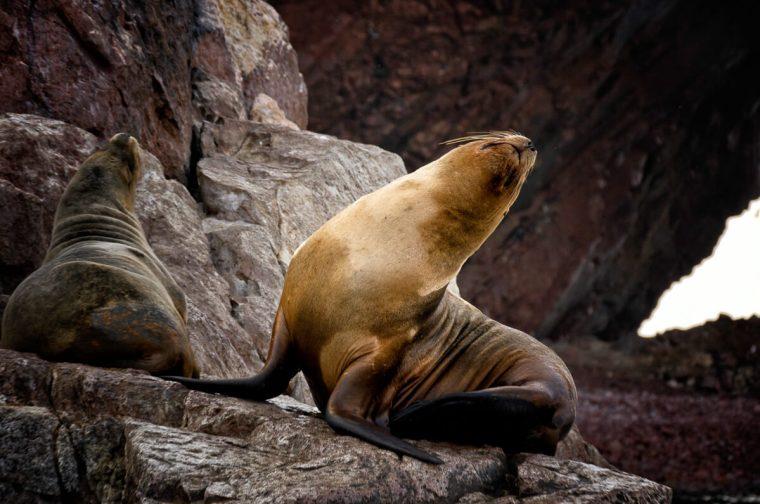 León marino en las islas Ballestas, Perú