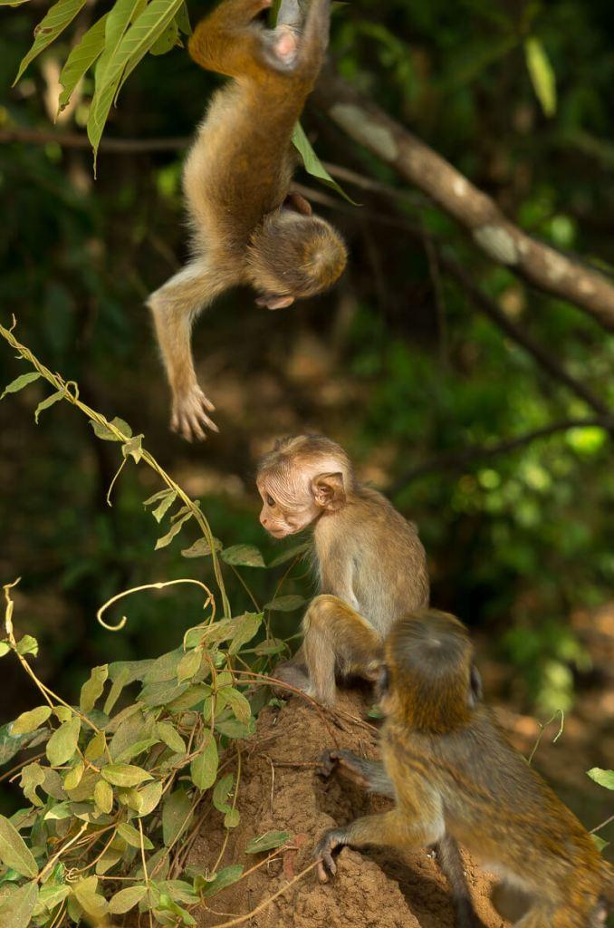 Pequeños monos en el Parque Minneriya, en Sri Lanka