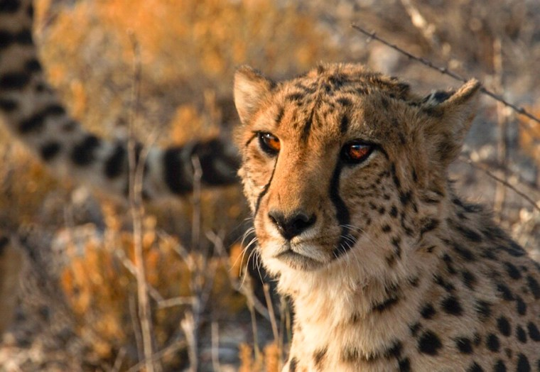 Guepardo en la granja Otjitotongwe, Namibia