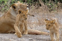 Cachorros de león dejándose acariciar por su mamá leona, en el Parque Nacional de Chobe, Botswana