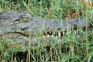 Primer plano de un cocodrilo visto durante el crucero por el río Chobe