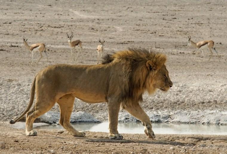 Un león en una de las charcas del Parque Nacional Etosha, Namibia
