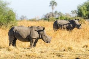 Una pareja de rinocerontes negros en la reserva Moremi, Botswana