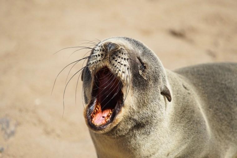 Uno de los cien mil lobos marinos que habitan en la colonia de Cape Cross, Namibia