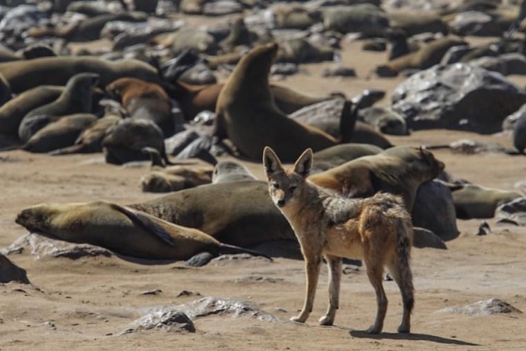 Un chacal aparece de pronto entre los leones marinos de Cape Cross
