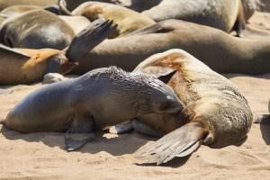 Una cría mamando en la colonia de lobos marinos de Cape Cross, Namibia