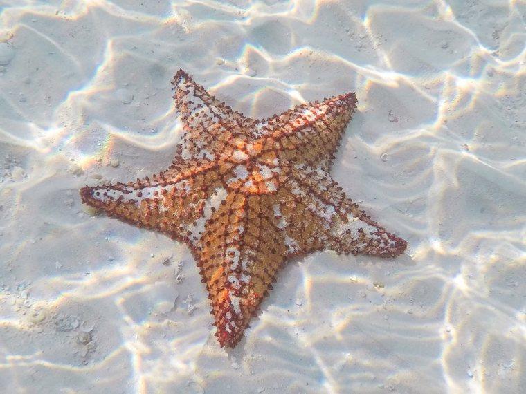 Estrella de mar vista en Cayo Levisa, Cuba