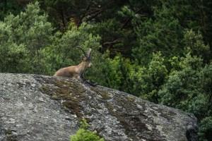 Una cabra que nos encontramos en nuestra ruta por la Pedriza