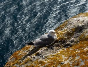 Una de las miles de gaviotas que habitan las islas Cíes