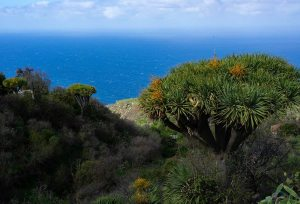 Ruta de los dragos en Las Tricias, con vistas al mar, La Palma