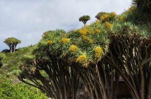 Ruta de los dragos en Las Tricias, La Palma