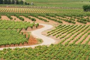 Mar de viñas en torno a Socuéllamos, en Ciudad Real