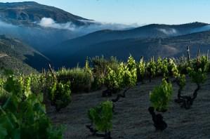 Amanecer en los viñedos de la Ribeira Sacra