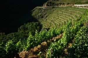 Viñas plantadas en bancales en las laderas del cañón del río Sil, Ribeira Sacra