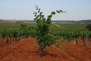 Viñas de Bodegas Real, en la Ruta del Vino de Valdepeñas