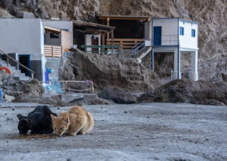 Gatos en Porís de Candelaria, La Palma