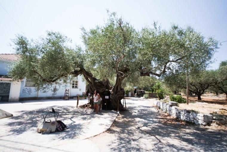 Olivo de 2.000 años de antigüedad en la isla Zakynthos