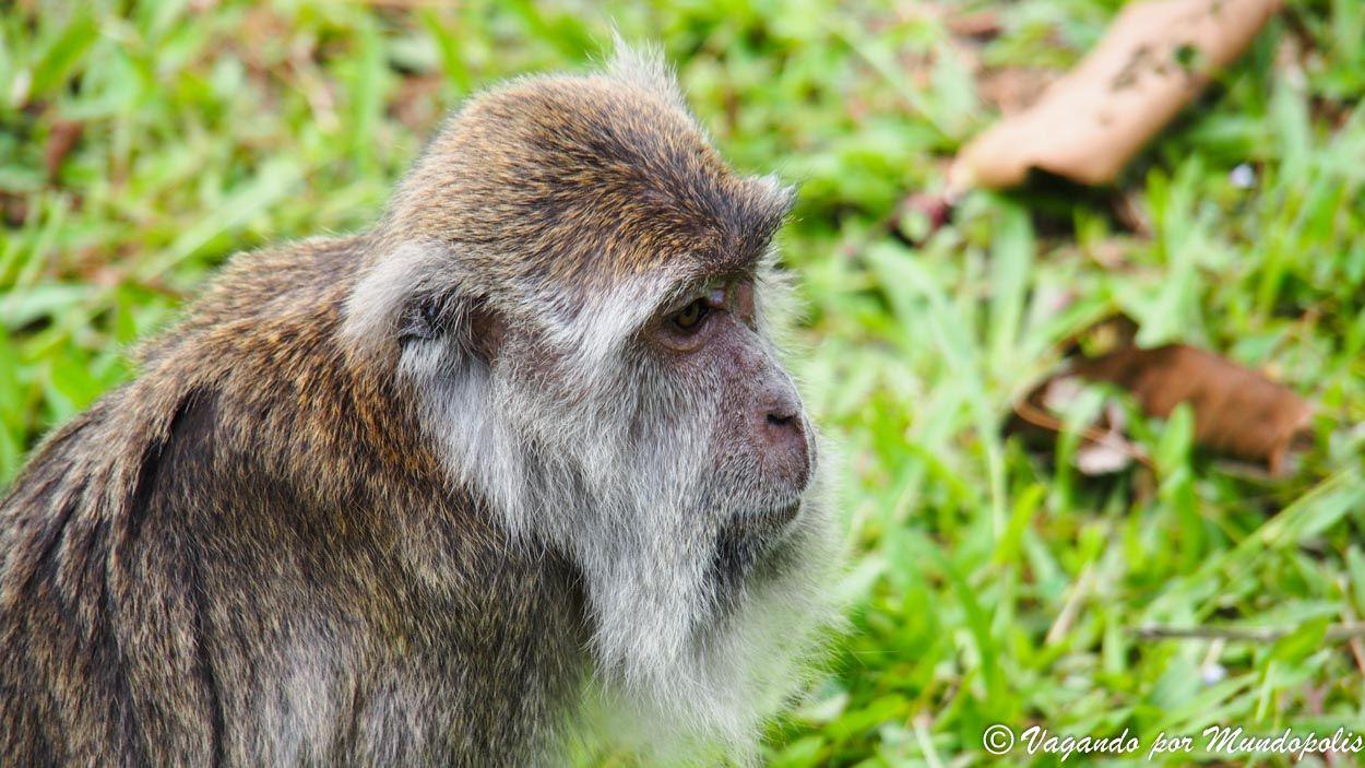 macaco-parque-bako-malasia