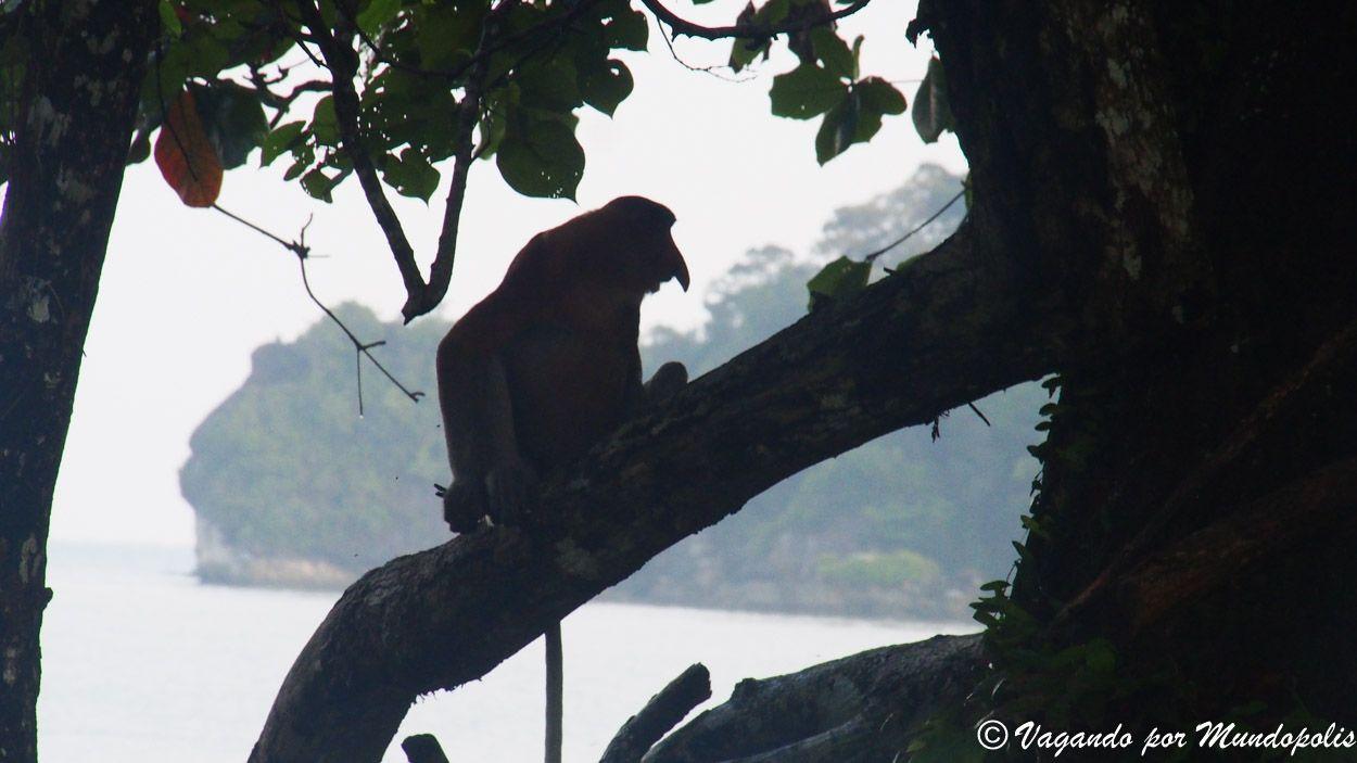 monos-narigudos-bako-malasia