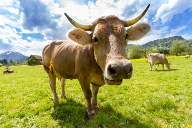 nature animal agriculture cow