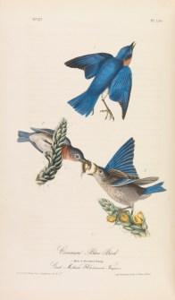 Common Blue Bird