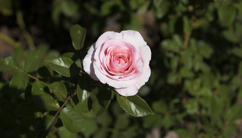 Roseiral em Buenos Aires - Passeio Romântico em Palermo